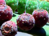 Opuntia-Mystic-Fruit-Of-Mex